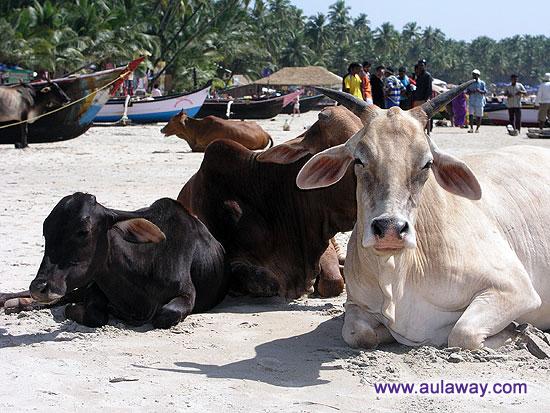 Пляж Палолем. То же море и те же коровы.