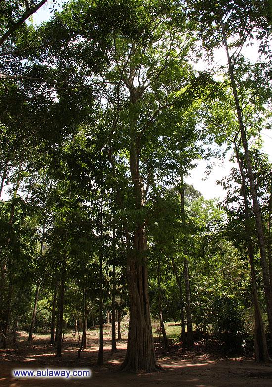 Анкорт Трат. Деревья, такие тонюсенькие из далека. Тростиночки.