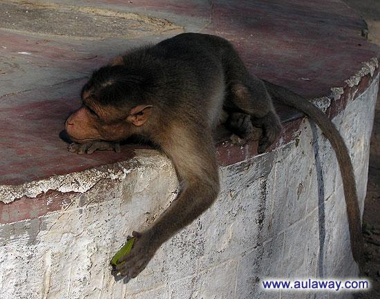 Спящяя обезьяна в Индии
