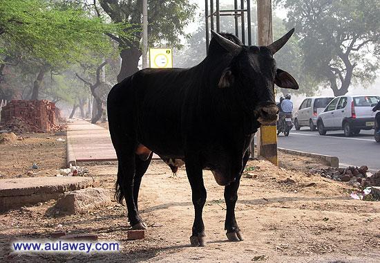 Коровы на улицах Дели.