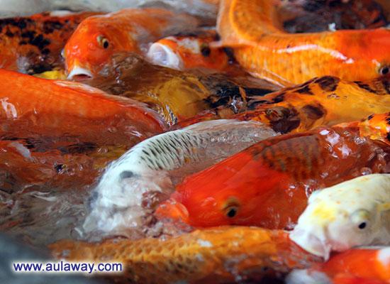 Эти забавные китайские рыбки.