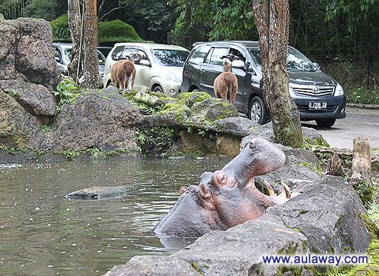 Индонезия, сафари