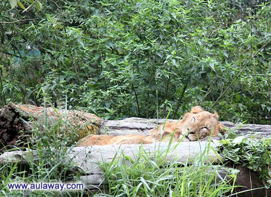 Сафари. Львы на прогулке.