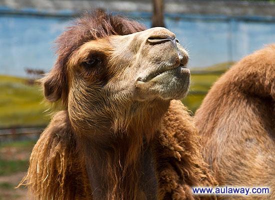 Смешной фото рассказ про верблюда.