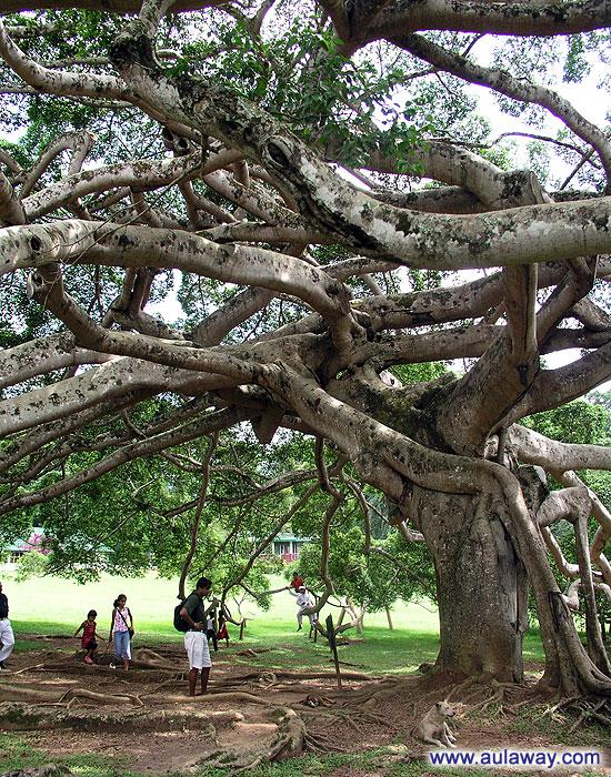 Самое объемное в мире дерево.