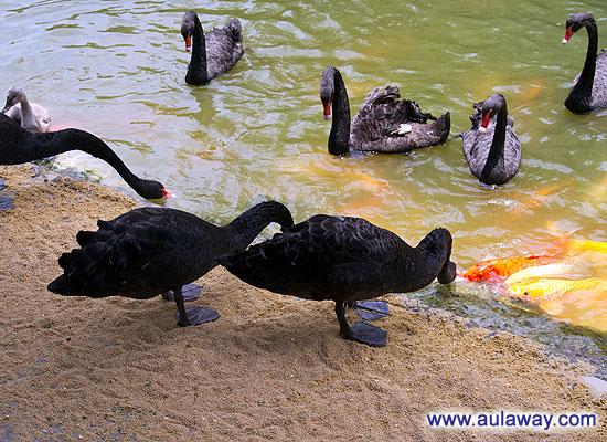 Черные лебеди. Фотографии.