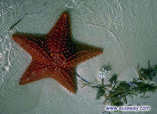 Морские звезды.
