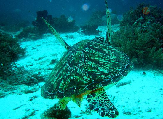 Плавание с черепахой.