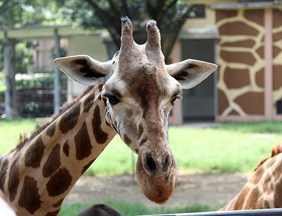 Жирафы в Гуанчжоу